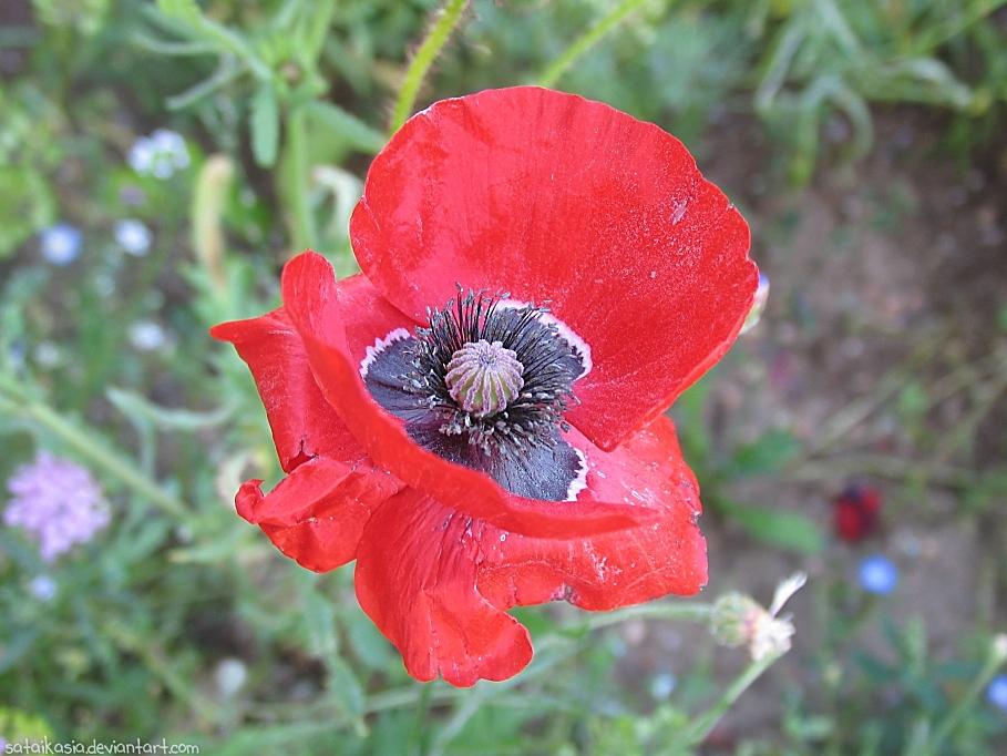 poppy by sataikasia