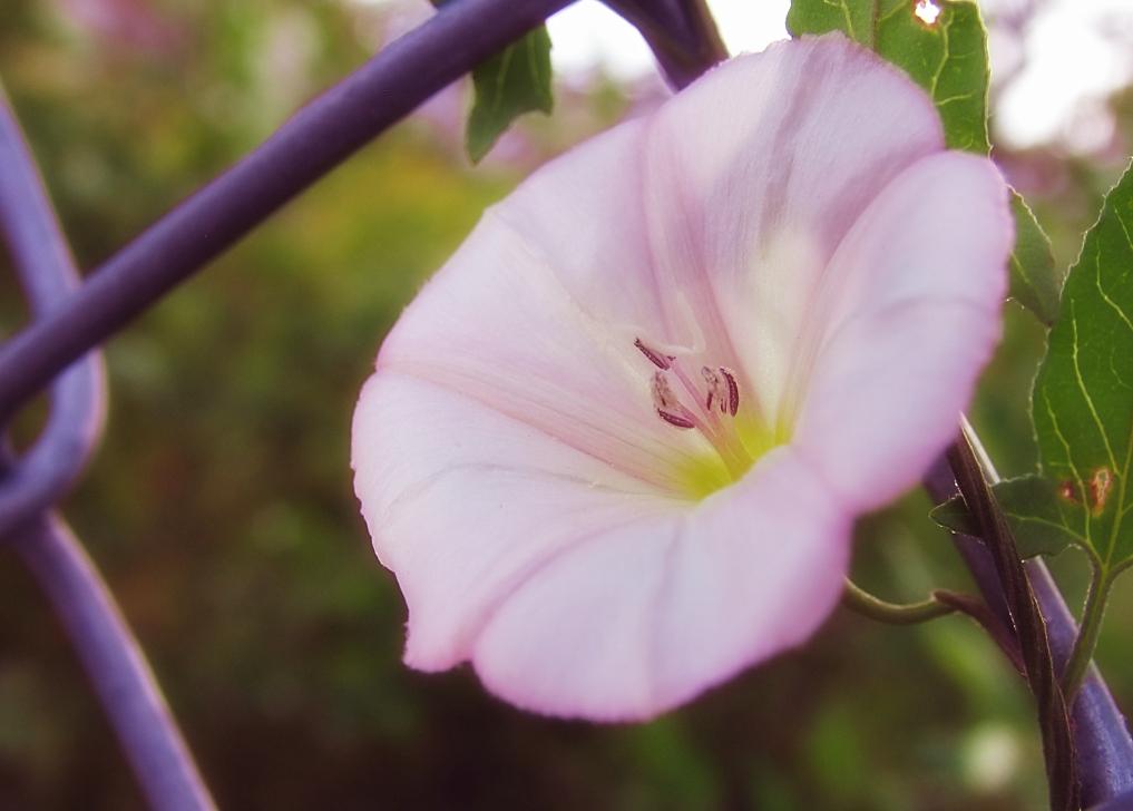 fence flower by sataikasia