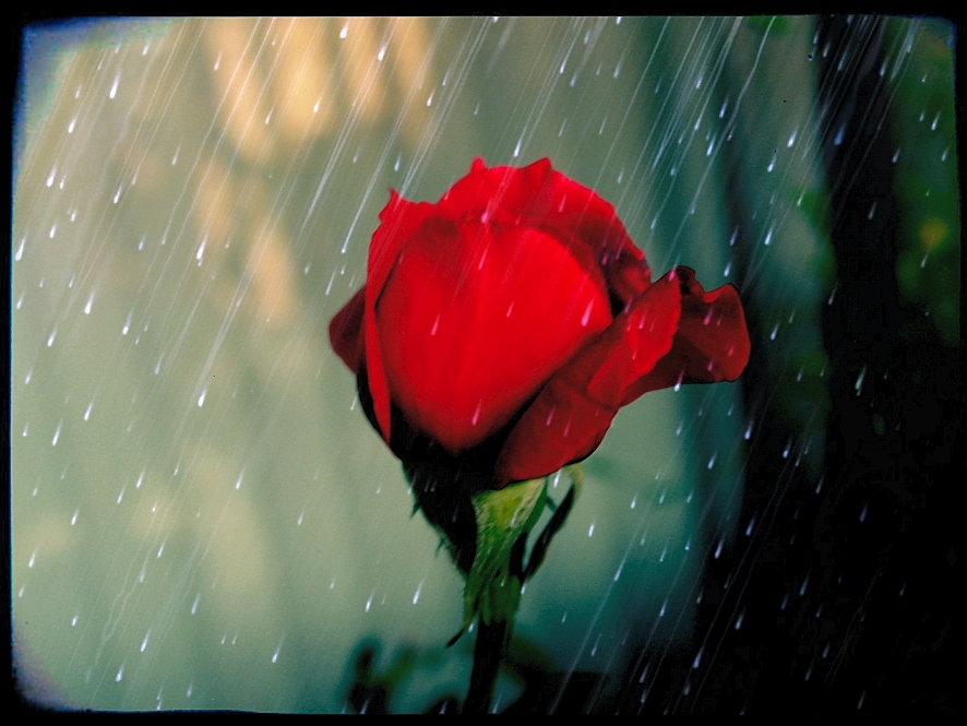 rosebud in the rain by sataikasia