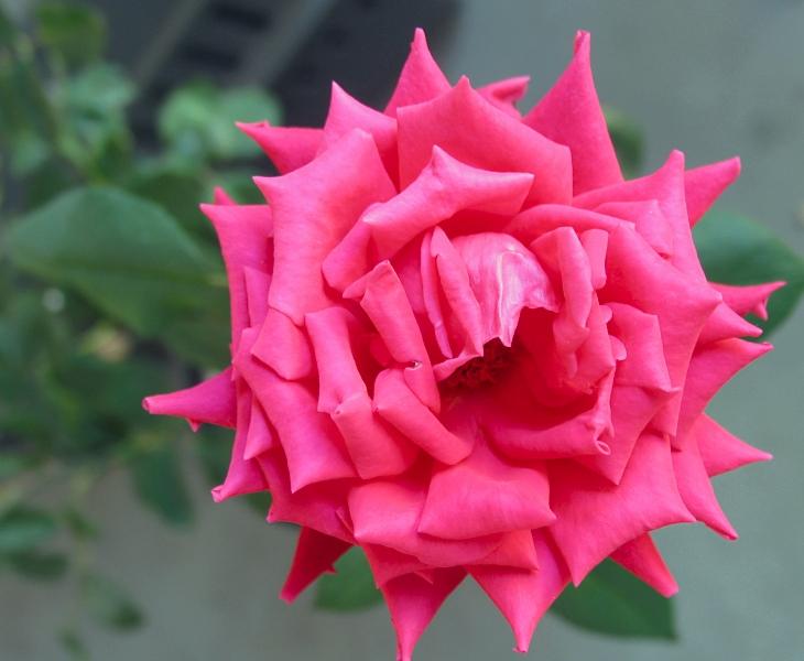 balcony rose by sataikasia