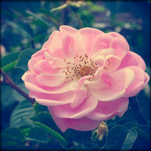 soft pink garden rose by sataikasia