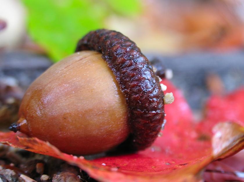 autumn acorn 2 by sataikasia