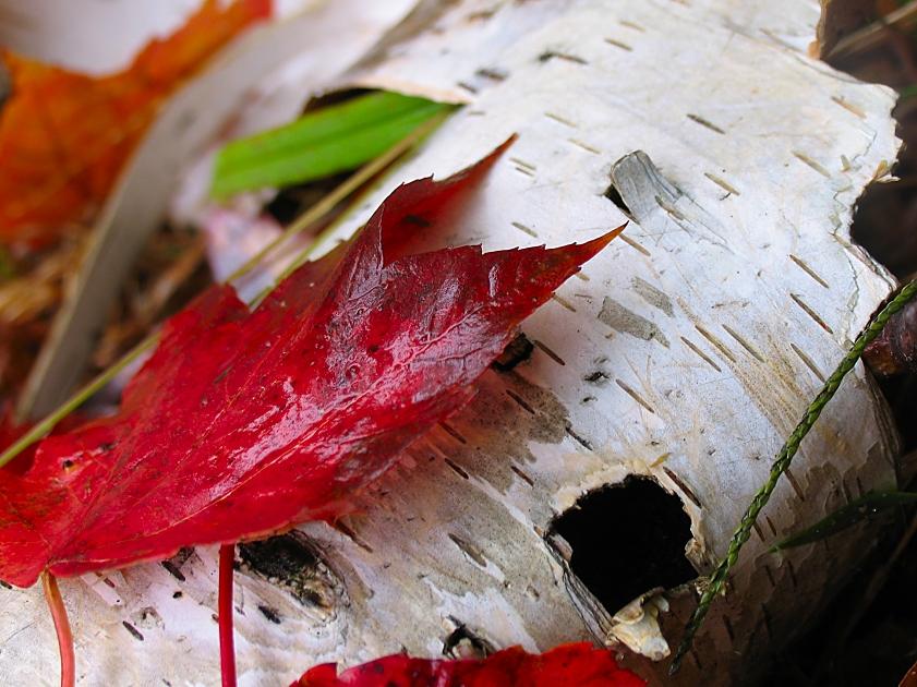 red autumn leaf by sataikasia