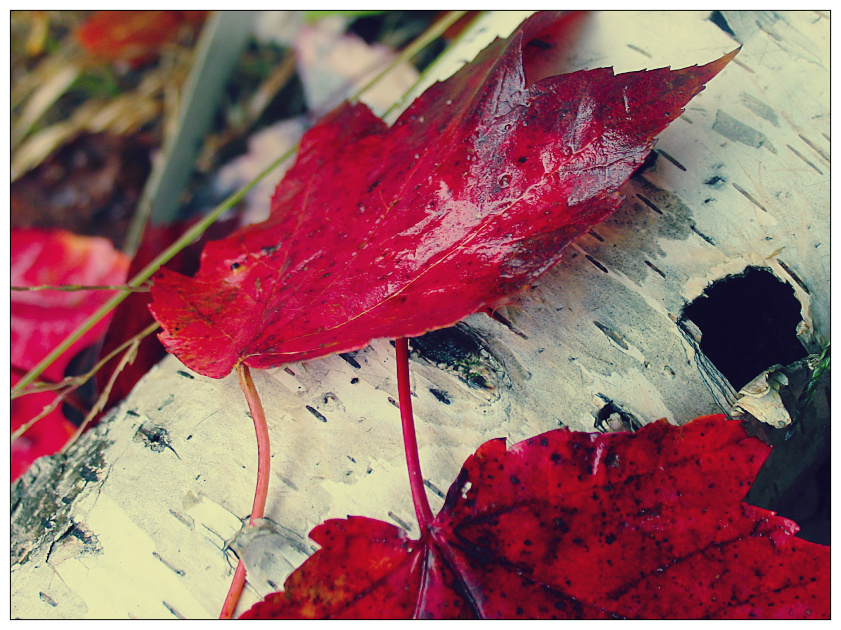 red autumn leaves by sataikasia