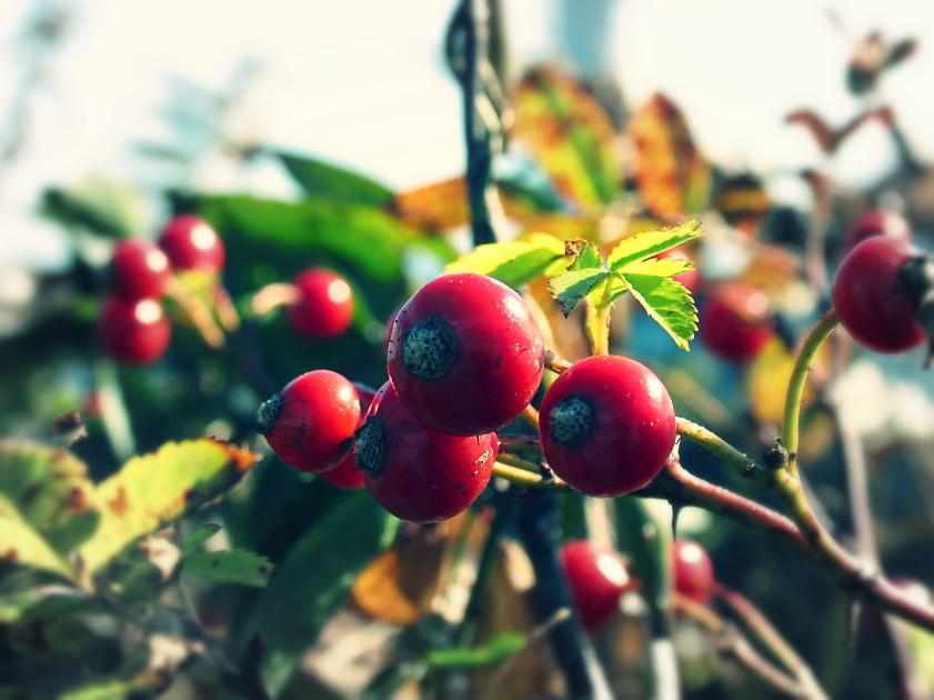 autumn berries by sataikasia