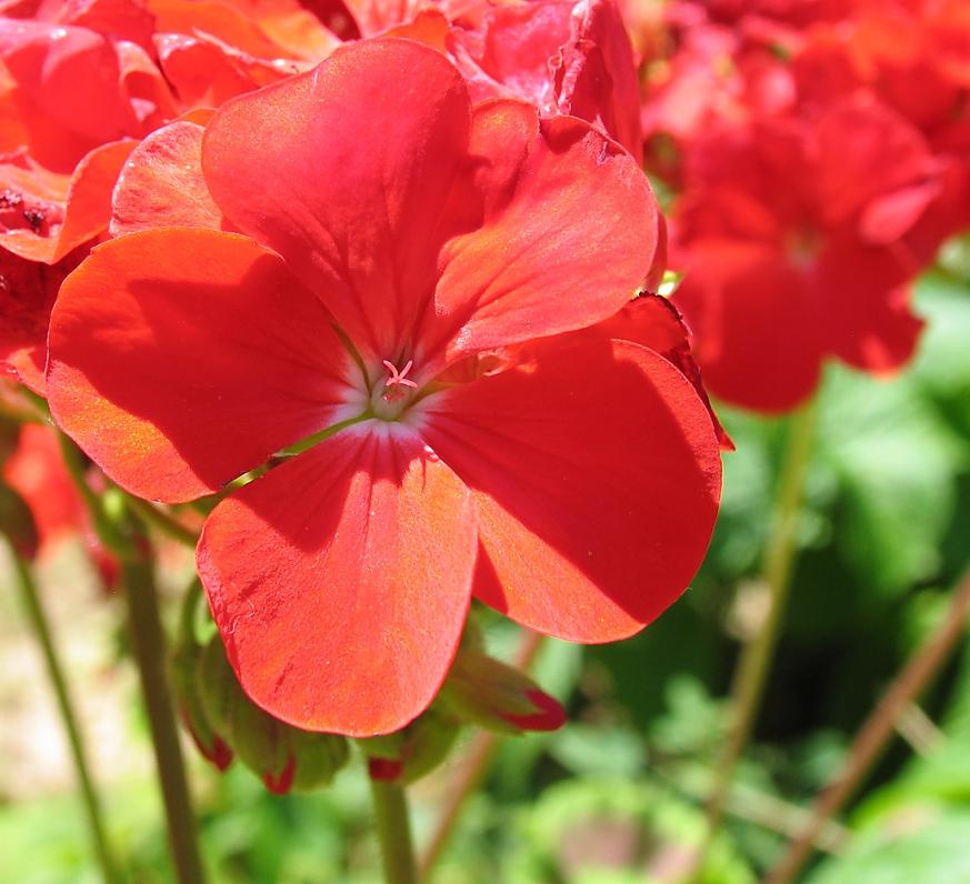 red flowers by sataikasia