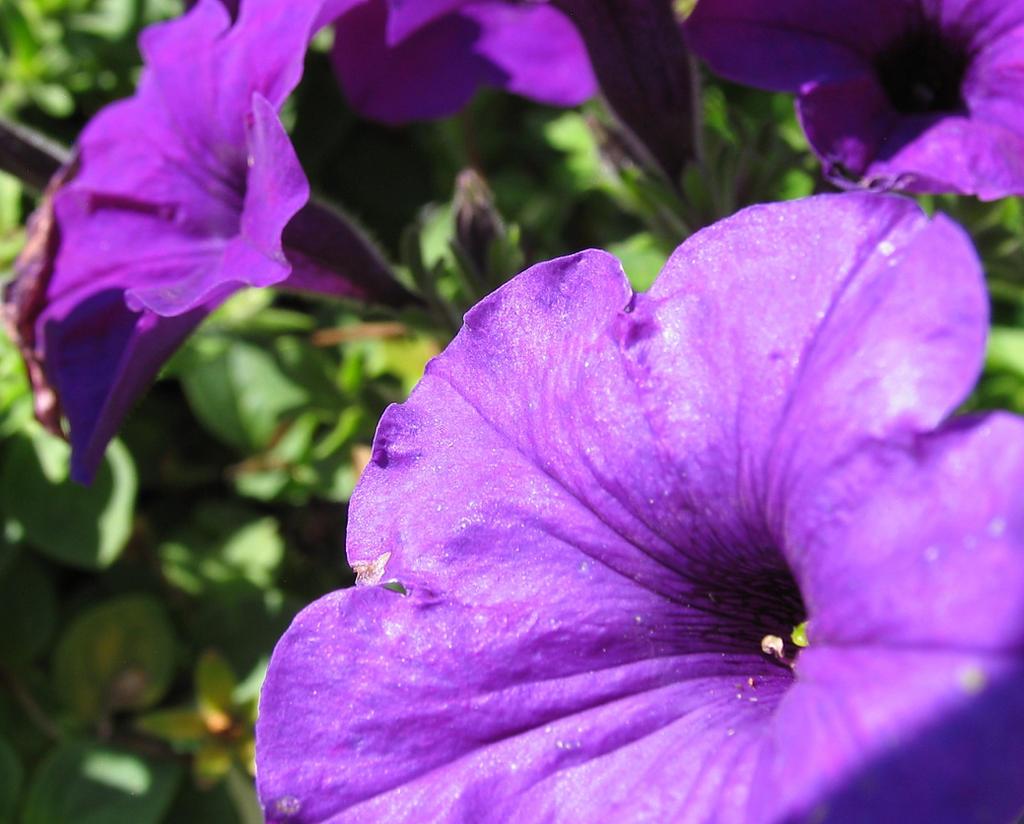 purple garden flowers by sataikasia