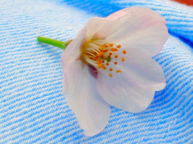 cherry blossom by sataikasia