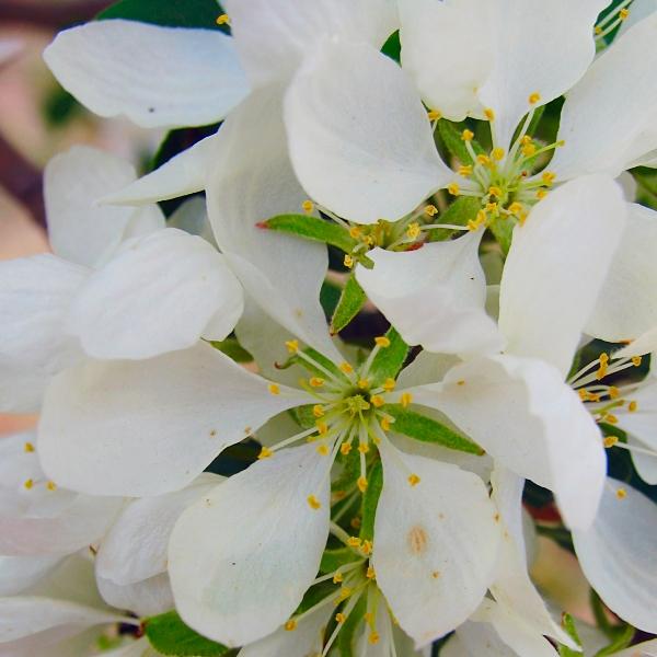 white flowers by sataikasia