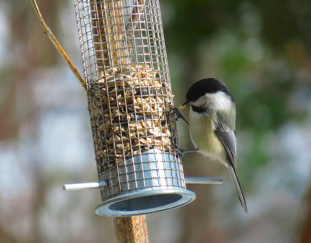 Spring chickadee by sataikasia