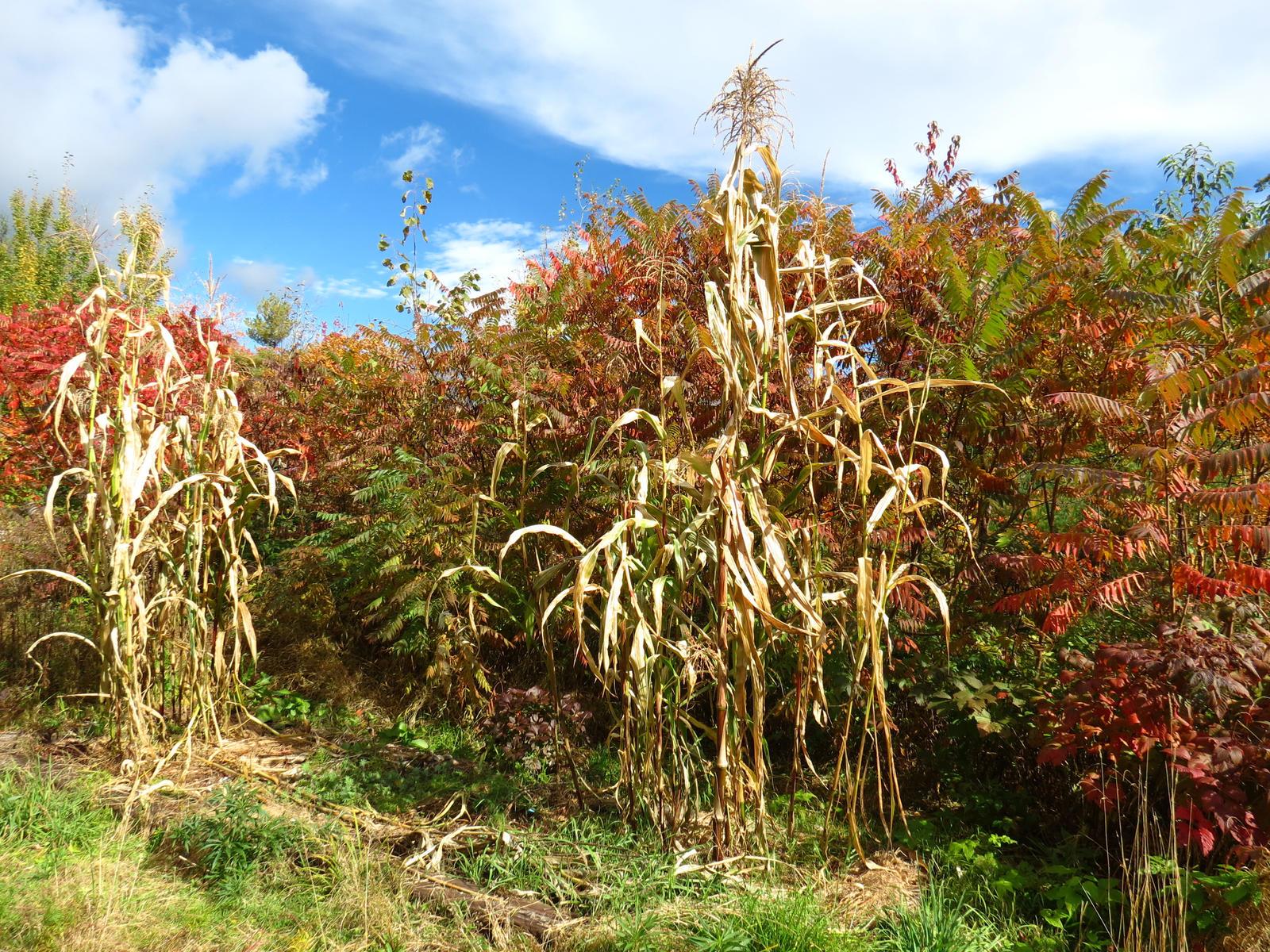 autumn cornstalks by sataikasia