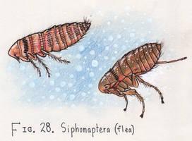 28. Orchopeas howardi (squirrel flea)