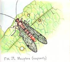29. Panorpa nebulosa (Scorpion Fly)