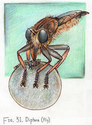 31. Promachus rufipes (Robber Fly)
