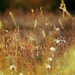 Fields Of Gold. by Blutr0t