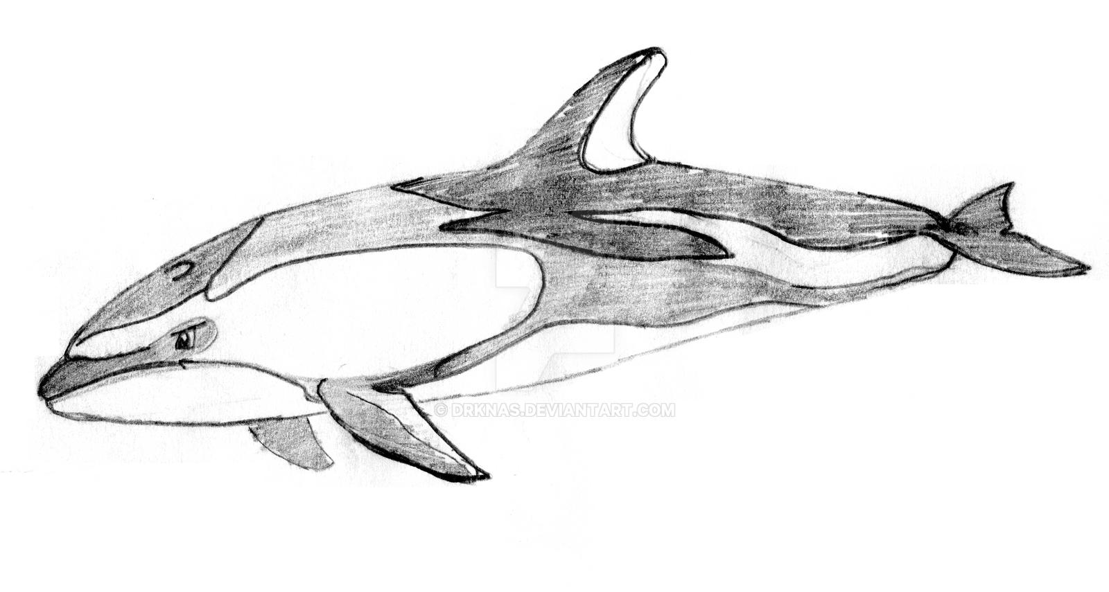 pacific white sided dolphin sketch by drknas on deviantart