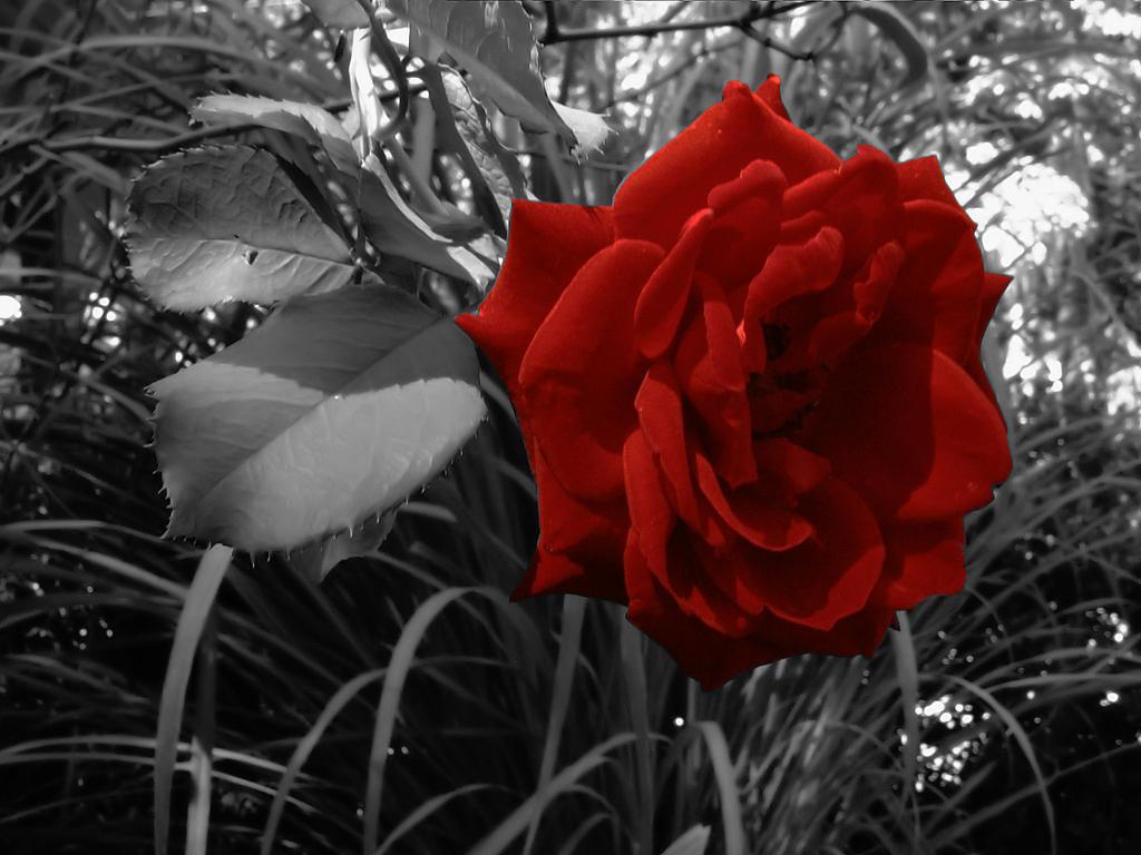 rose noir by lilithlairpoetry on deviantart. Black Bedroom Furniture Sets. Home Design Ideas