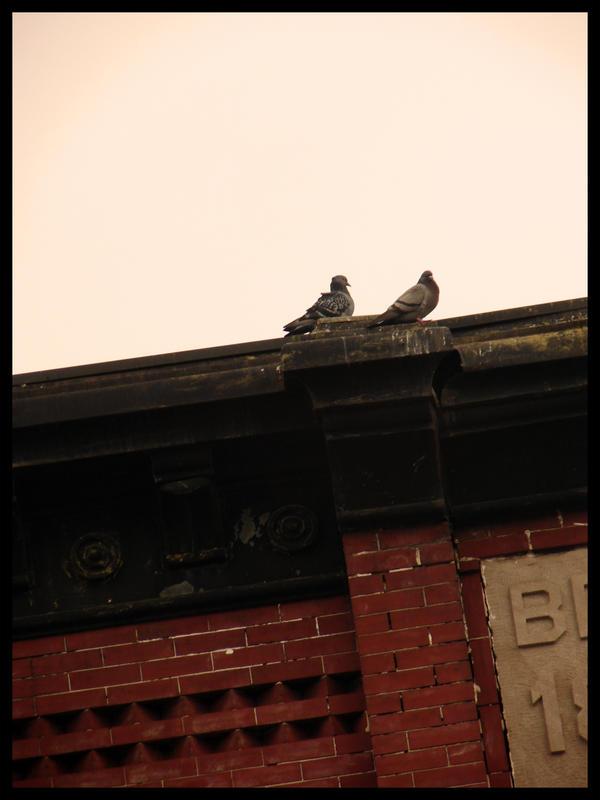 pigeon talk... by harmonyrose