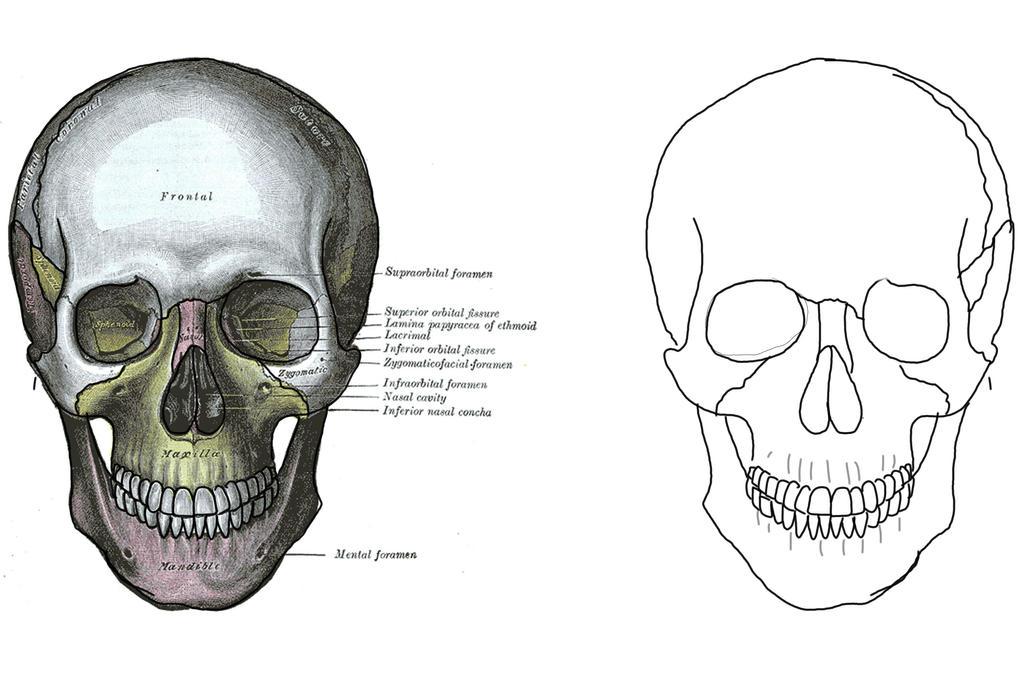 Human Anatomy - Skull by trainwreck-artist on DeviantArt