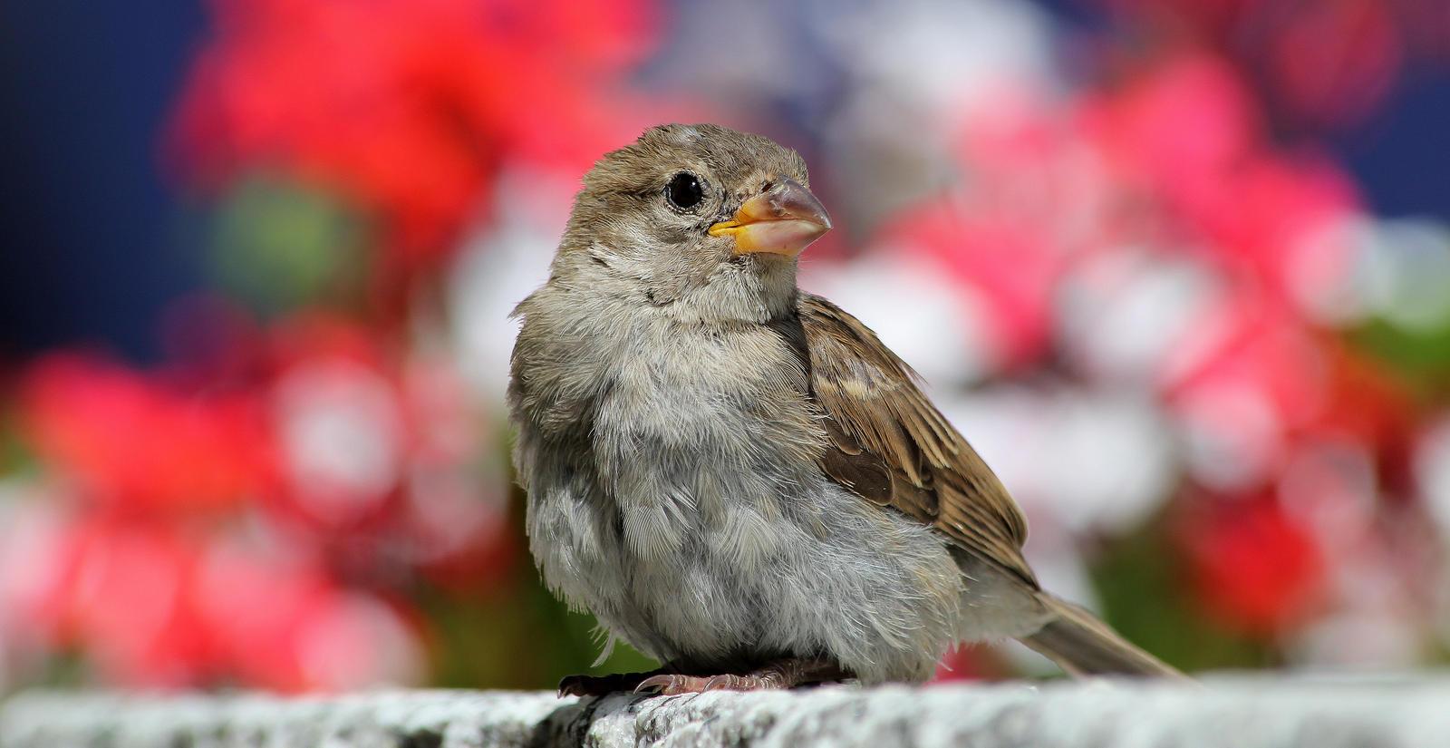 Mont Blanc Sparrow by WSchravesande