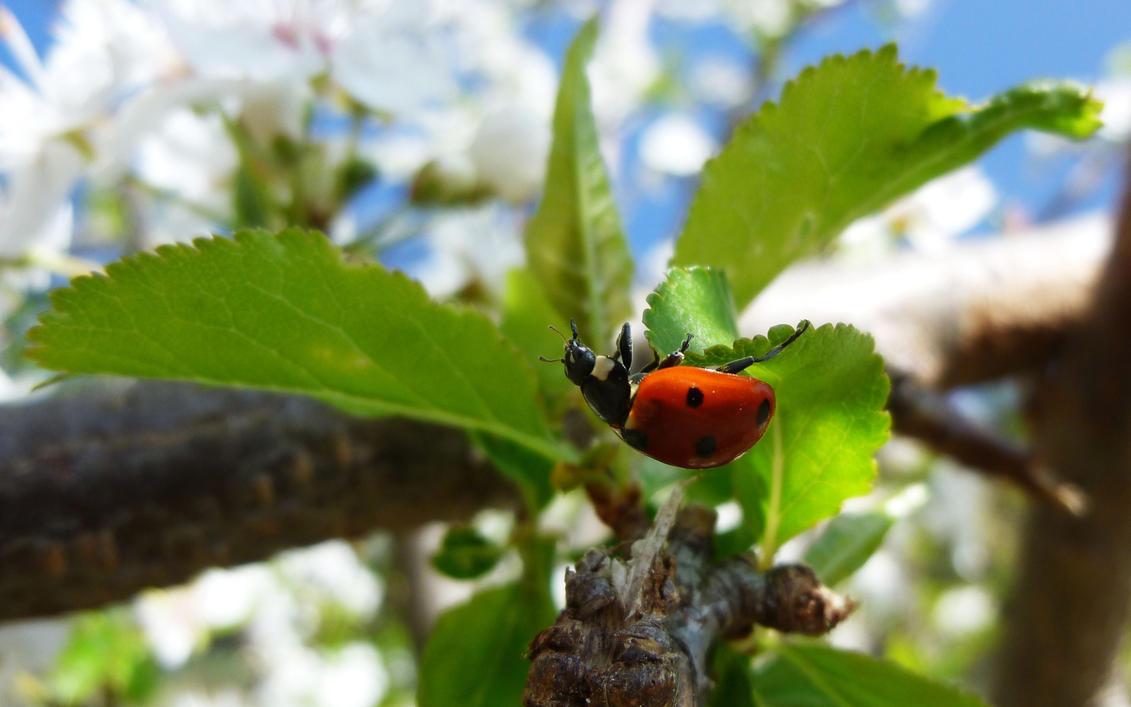 Ladybug on a Plum Tree by AdMalamCrucem