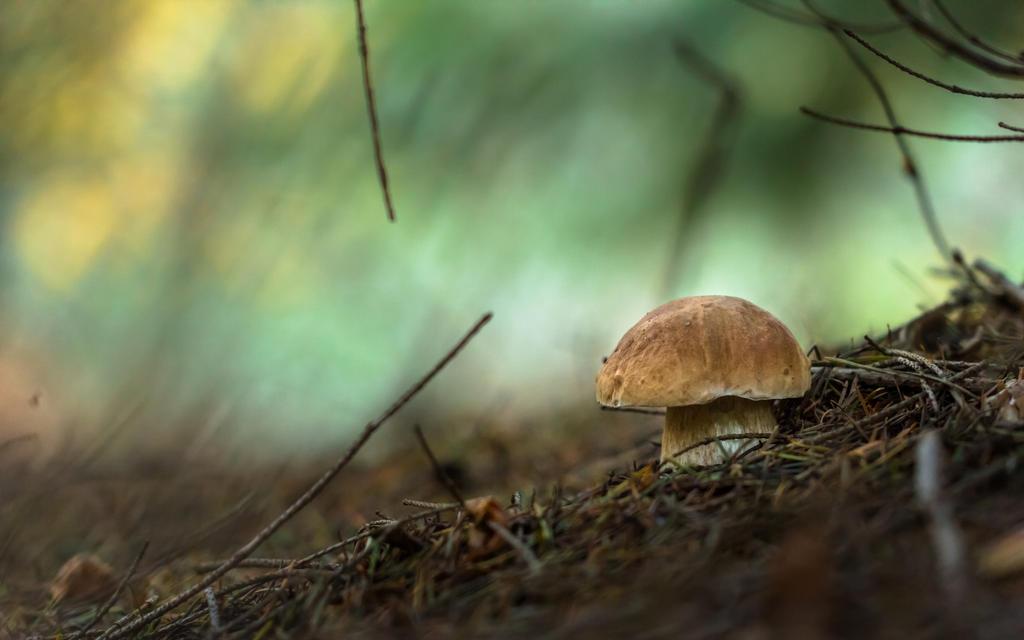 Boletus Pinophilus by AdMalamCrucem