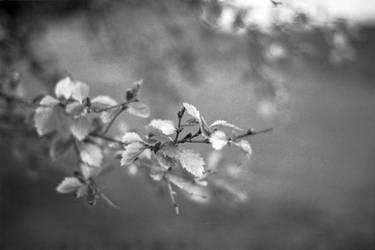 Monochrome alder by Karinta