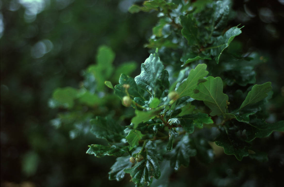 Oak leaves by Karinta