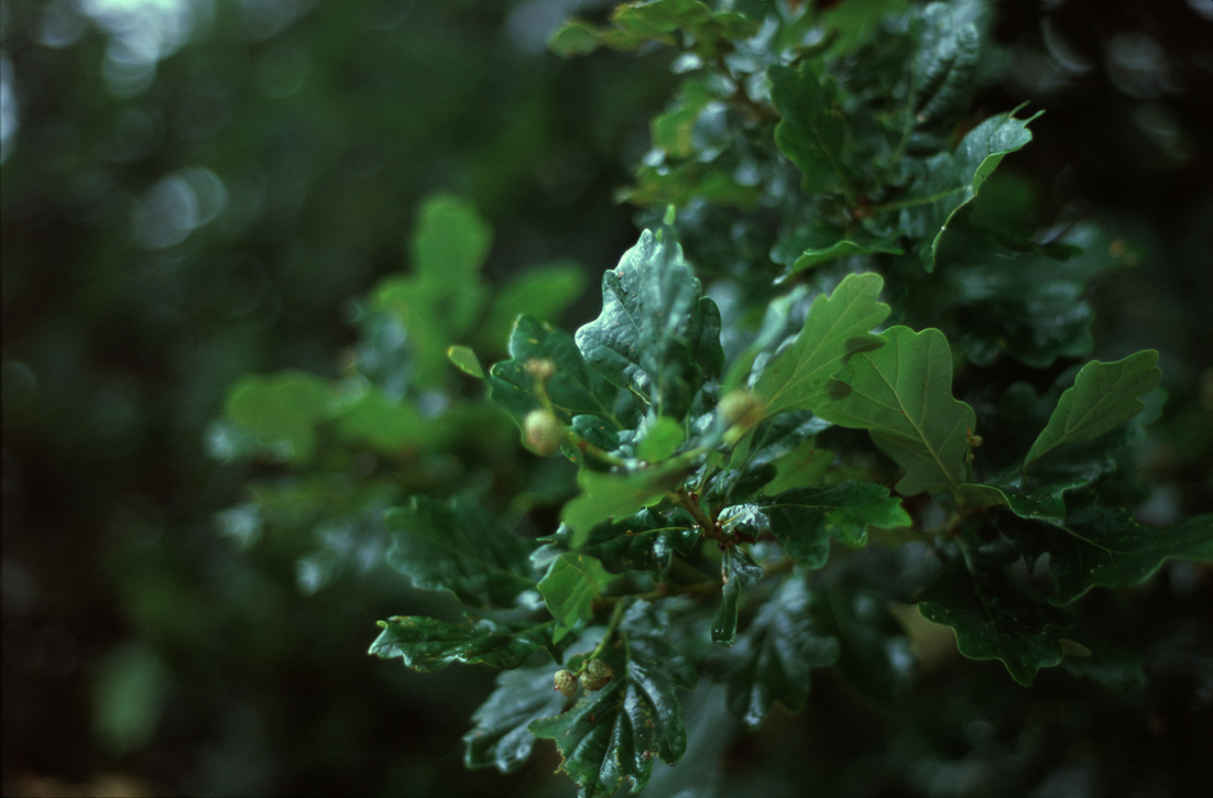 Oak leaves by Karinta