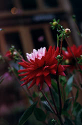 Crimson-petaled flower by Karinta