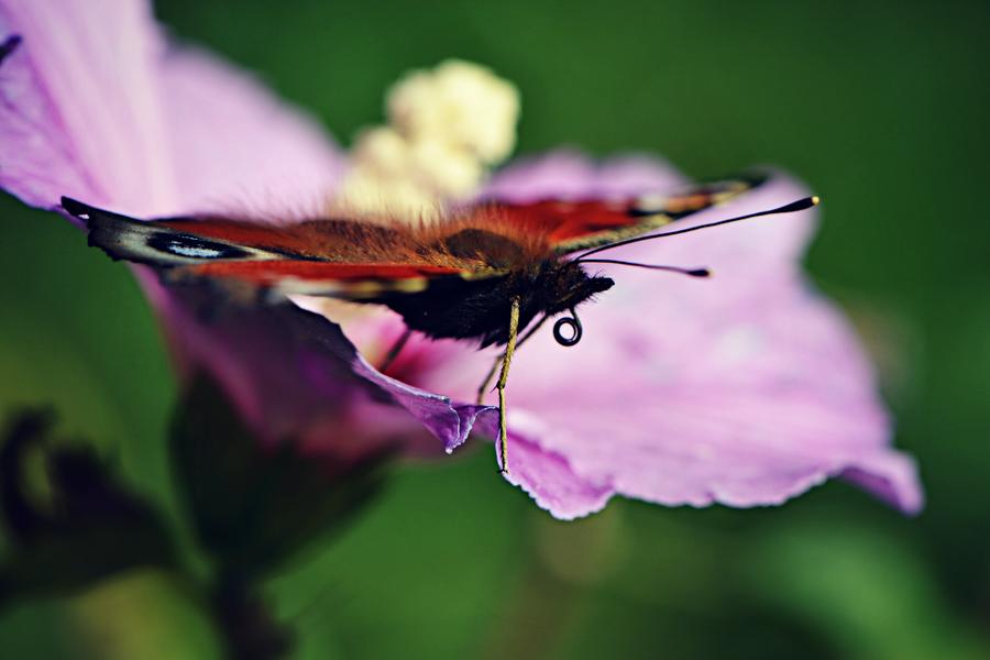 butterfly by Pixelbiene