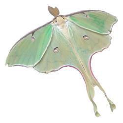 Luna Moth by RLobinske