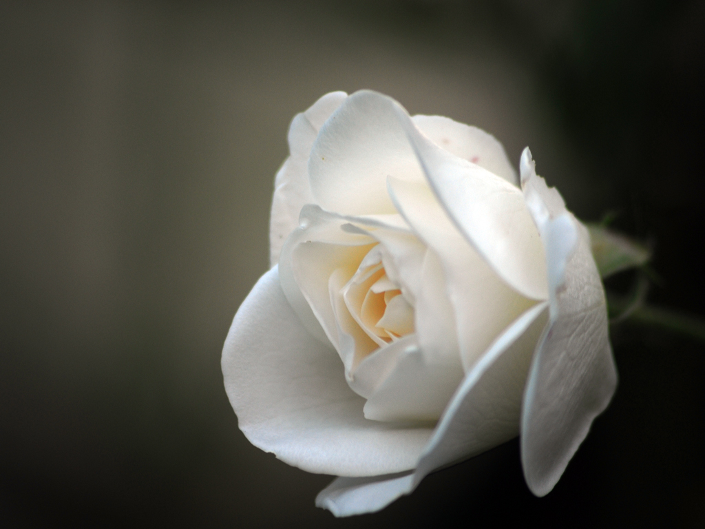 White Rose I Love You