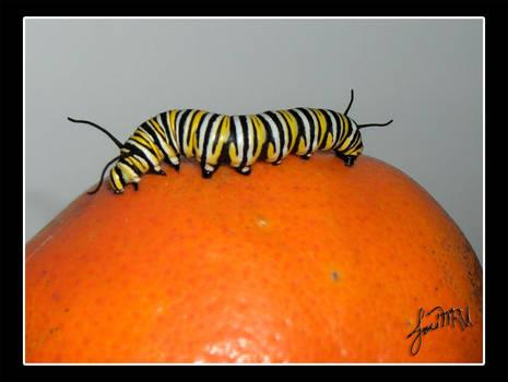Tangerine by Falconieri