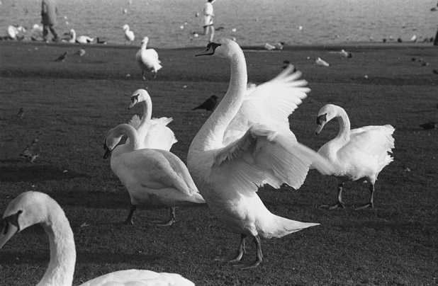 Swan by ManicMechE
