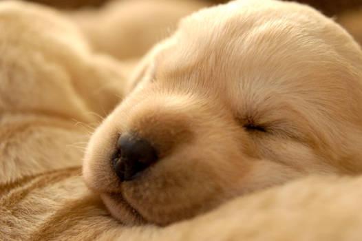 Sierra puppies 7