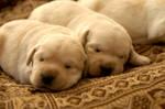 Sierra puppies 9