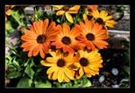 DSC 0050 -1 Orange Flowers