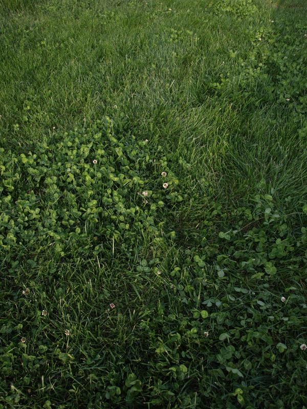 Grass and Clovers - texture