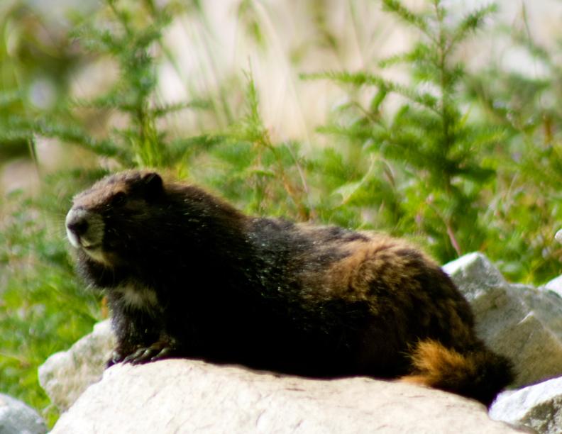 Vancouver Island Marmot III by JoeJoeBob