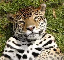Jaguar by Zafi