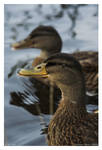 Grinning Ducks
