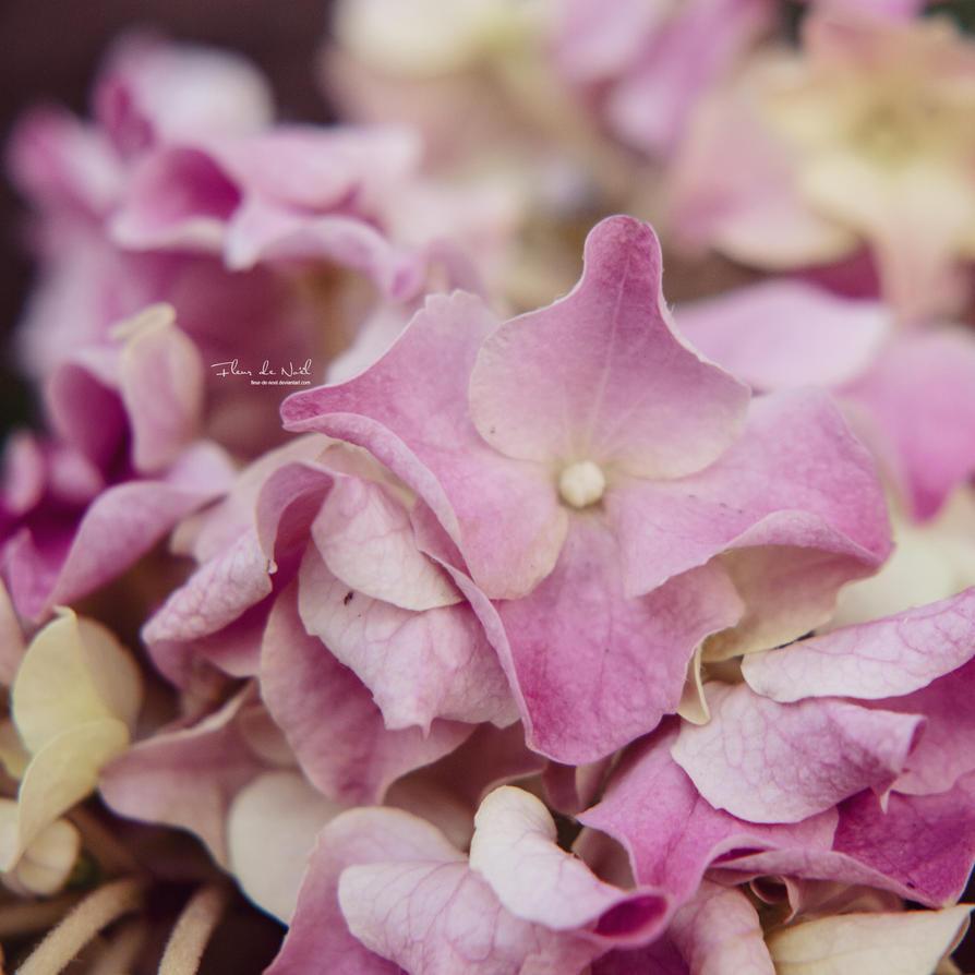 Hydrangea by Fleur-de-Noel