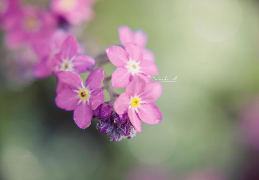 Image Fleur Noel.Vergissmeinnicht By Fleur De Noel On Deviantart