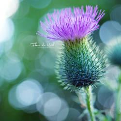 Thistle by Fleur-de-Noel