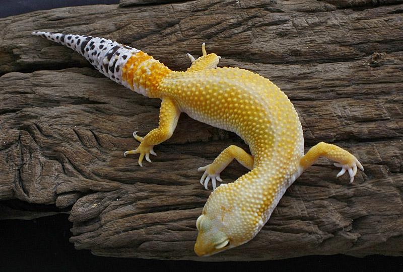 Leopard Gecko - Super Hypo Tangerine Baldy by Boidman on ...