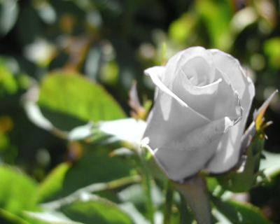 White Rose by Arka9