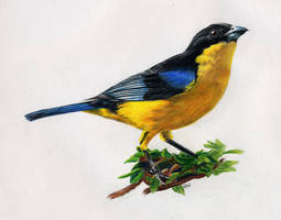 Yellow-Breasted Bird by horusfeathers