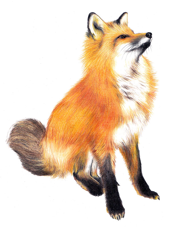 Картинка лисы нарисованная для детей