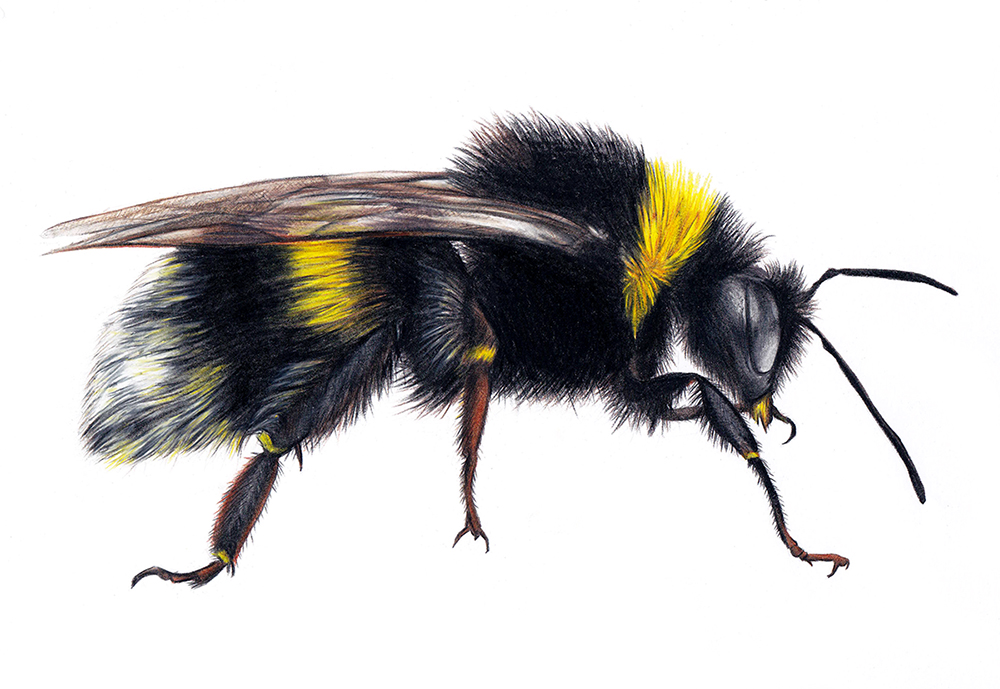 Bumblebee Insect Drawing Bumblebee - realistic ...